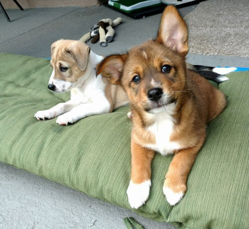 Basenji Puppies for sale in Lake Mary, FL 32746, USA. price 300USD