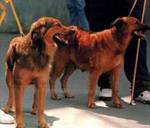 basque shepherd dogs