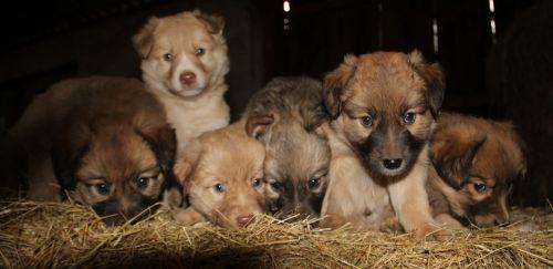 basque shepherd puppies