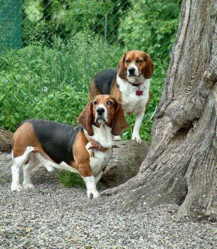 basset artesien normand dogs