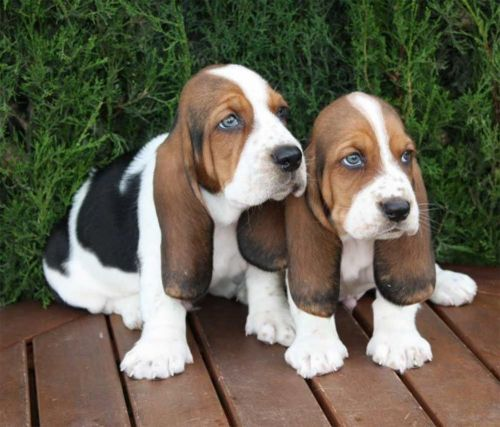 basset artesien normand puppies