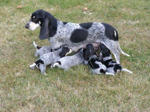 basset bleu de gascogne puppies