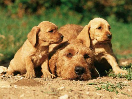 basset fauve de bretagne puppies