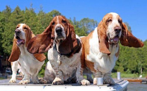 basset hound dogs