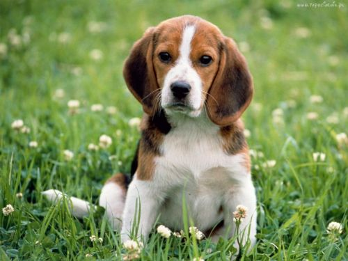 beagle harrier puppy