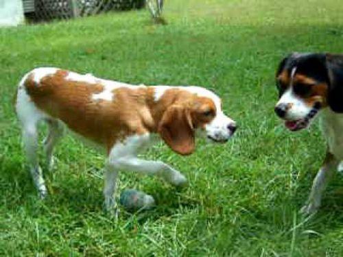 beaglier dogs