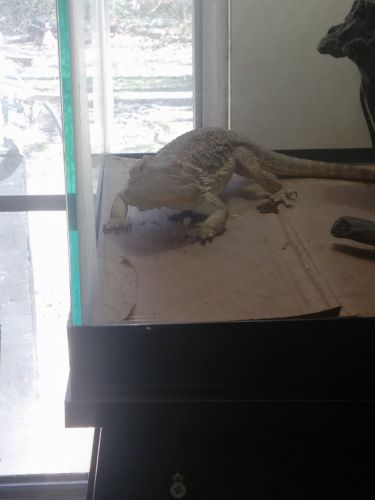 Bearded Dragon Reptiles for sale in Porter, TX 77365, USA. price 150USD