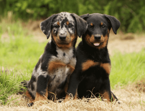 beauceron puppies