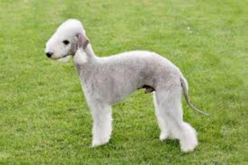 bedlington terrier puppy