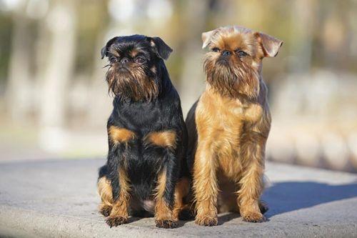 belgian griffon dogs