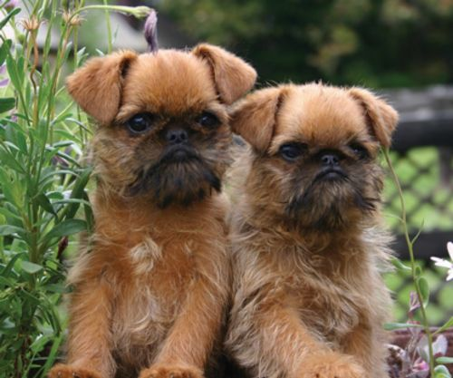 belgian griffon puppies
