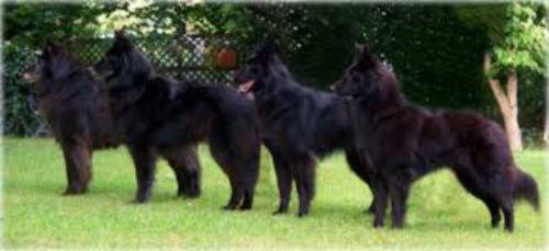 belgian shepherd dog groenendael dogs