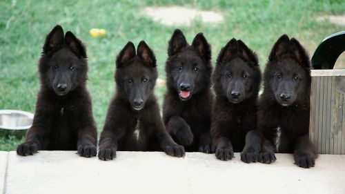 belgian shepherd dog groenendael puppies
