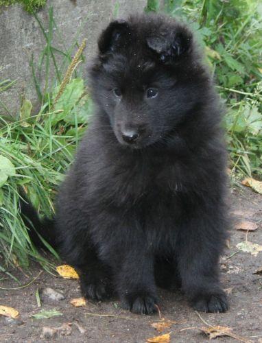 belgian shepherd dog groenendael puppy