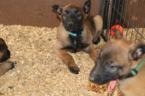 Belgian Shepherd Dog (Malinois) Puppies for sale in Noble, OK, USA. price 1000USD