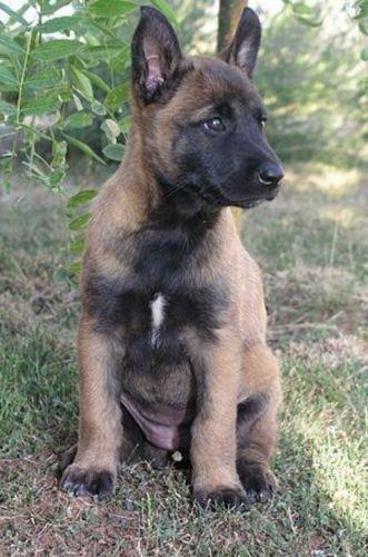 belgian shepherd dog malinois puppy