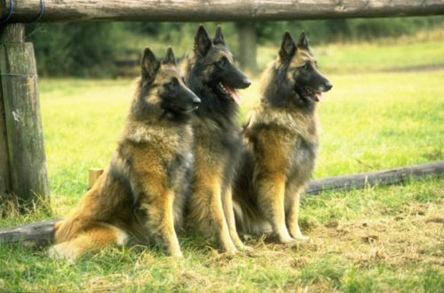 belgian shepherd dog tervuren dogs