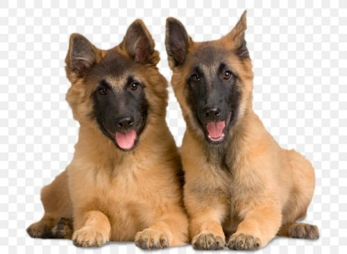 belgian shepherd dog tervuren puppies