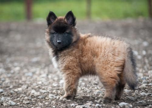 belgian shepherd dog tervuren puppy