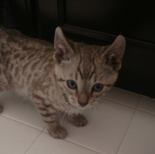 Bengal Cats for sale in Round Hill, VA 20141, USA. price 1200USD
