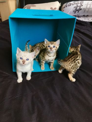 Bengal Cats for sale in Oakland, CA, USA. price 400USD