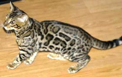 Bengal Cats for sale in Des Moines, IA, USA. price 1200USD
