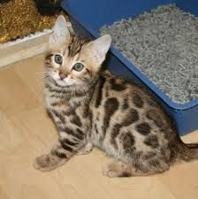 Bengal Cats for sale in MN-7, Silver Lake, MN 55381, USA. price 300USD