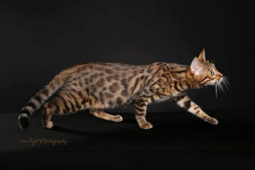 Bengal Cats for sale in Riverside, CA, USA. price -USD