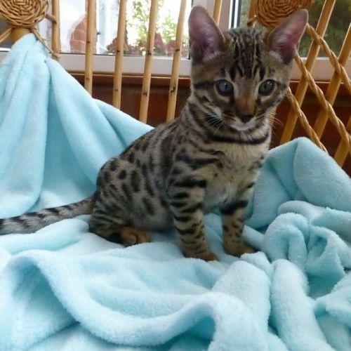 Bengal Cats for sale in Los Angeles, CA, USA. price 525USD