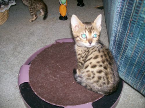 Bengal Cats for sale in Charter Twp of Clinton, MI, USA. price 900USD