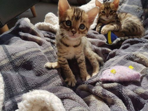 Bengal kittens for sale in los angeles