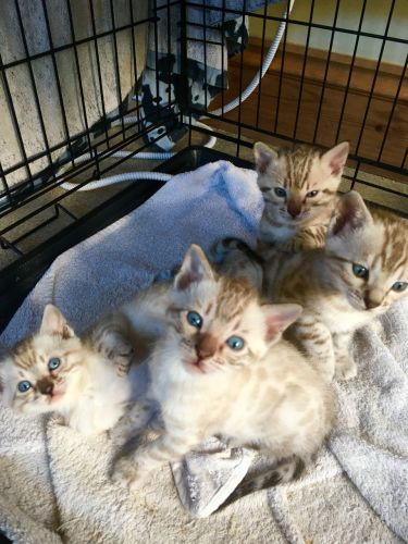 Bengal Cats for sale in Colorado Springs, CO, USA. price -USD