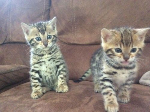 Bengal Cats for sale in Leesburg, VA 20176, USA. price 450USD