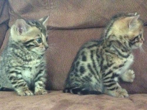 Bengal Kittens & Bengal Cats of 14Karat Bengal Cat Cattery ...