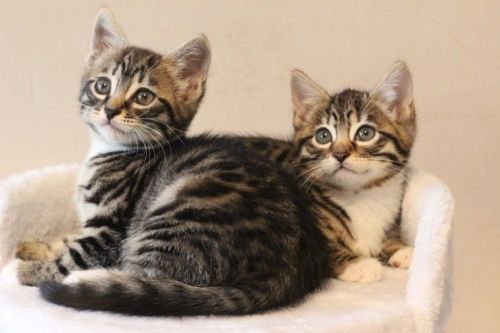 Bengal Cats for sale in Springfield, IL, USA. price 400USD