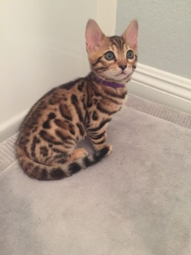 Bengal Cats for sale in San Clemente, CA, USA. price 950USD