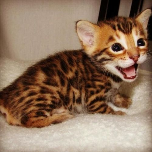 Bengal Cats for sale in Miami, FL, USA. price 400USD