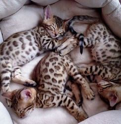 Bengal Cats for sale in Orange County, CA, USA. price 450USD