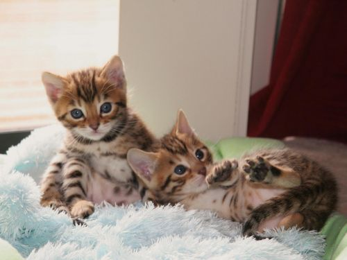 Bengal Cats for sale in FL-436, Casselberry, FL, USA. price -USD