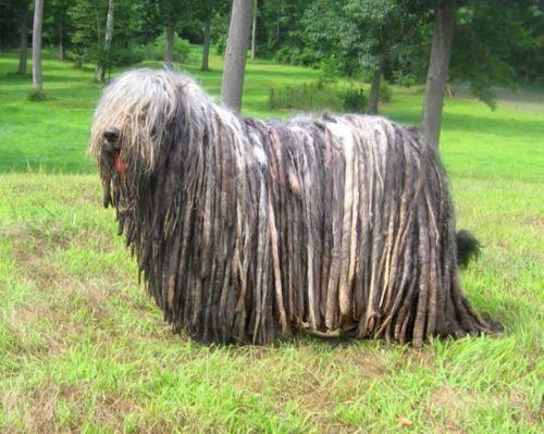 bergamasco dog