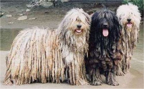 bergamasco dogs