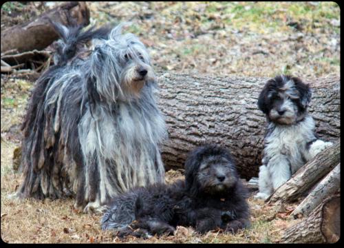 bergamasco puppies