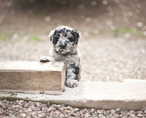 bergamasco puppy