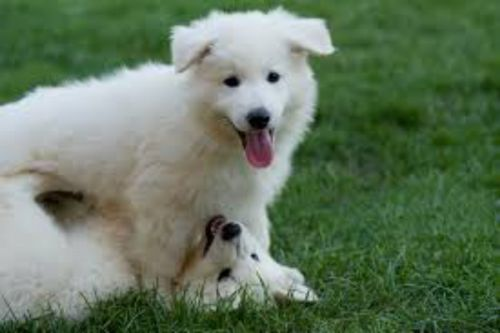 berger blanc suisse puppies