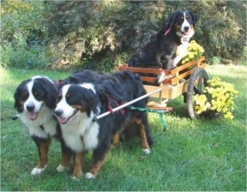 bernese mountain dog dogs