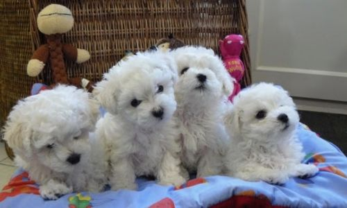 bichon bolognese puppies