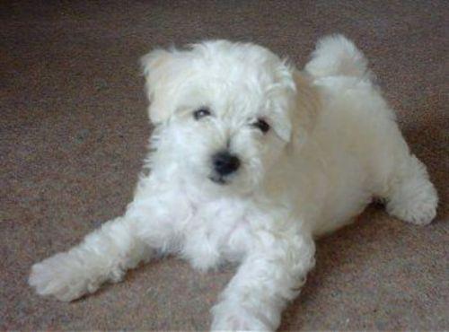 bichon bolognese puppy