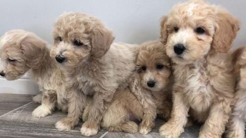 bichonpoo dogs