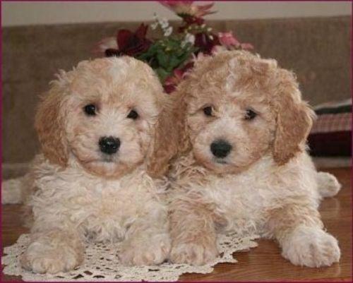 bichonpoo puppies