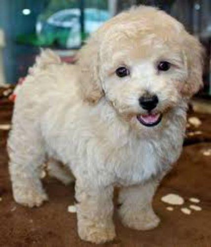 bichonpoo puppy